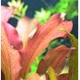 Echinodorus St. Elmo's Fire  - PLANTACJA (koszyk)