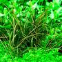 Echinodorus tenellus (in-vitro) puszka 10cm XXL