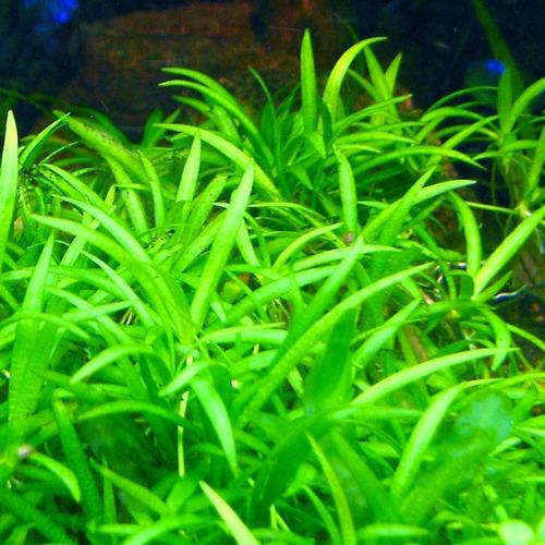 Echinodorus tenellus parvulus (in-vitro) puszka 10cm XXL