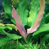 Echinodorus tricolor (koszyk)