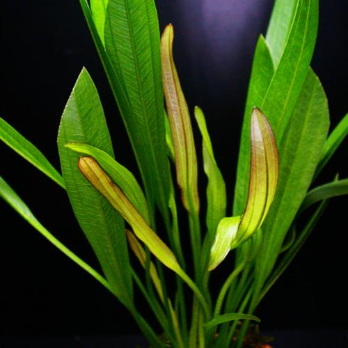 Echinodorus veronikae - RATAJ (koszyk)