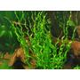 Echinodorus vesuvius - PLANTACJA (koszyk)  RARYTAS!