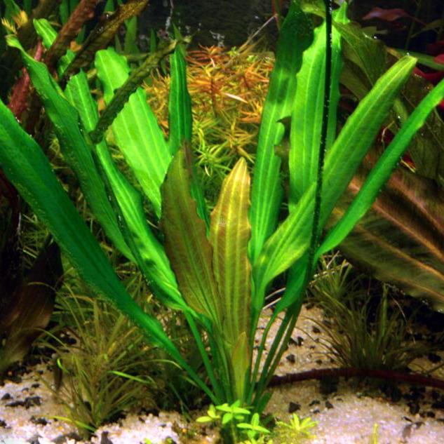 Echinodorus Witin - RATAJ (koszyk)