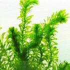 Egeria densa (moczarka) - RA koszyk duży XXL