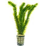 Egeria densa (moczarka) - RA koszyk standard