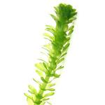 Egeria densa (moczarka) - sadzonka