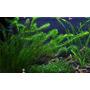 Egeria densa - TROPICA (pęczek)