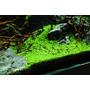 Elatine hydropiper (in-vitro) puszka 10cm XXL