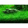 Eleocharis acicularis (in-vitro) puszka 10cm XXL