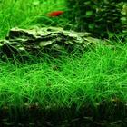 Eleocharis acicularis (in-vitro) puszka 5cm