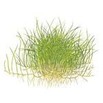 Eleocharis acicularis 'Mini- in-vitro Aqua-Art