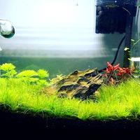 Eleocharis acicularis 'Mini- in-vitro Aqua-Art
