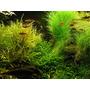 Eleocharis acicularis - RA koszyk duży XXL
