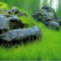 Eleocharis acicularis - RATAJ (koszyk)