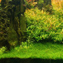 Eleocharis parvula - in-vitro Aqua-Art