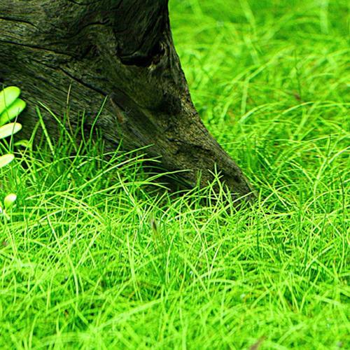 Eleocharis pusilla - in-vitro Aqua-Art