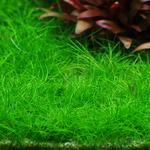 Eleocharis sp. mini (in-vitro) puszka 10cm XXL