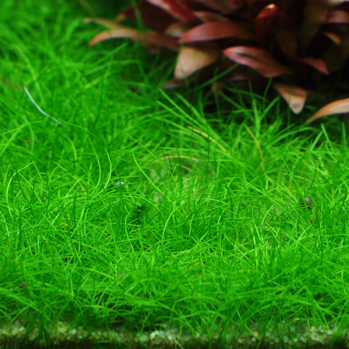 Eleocharis sp. mini (in-vitro) puszka 10cm XXL