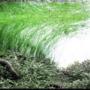 Eleocharis vivipara - RATAJ (koszyk)