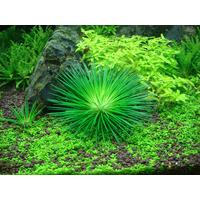 Eriocaulon cinereum - in-vitro Aqua-Art
