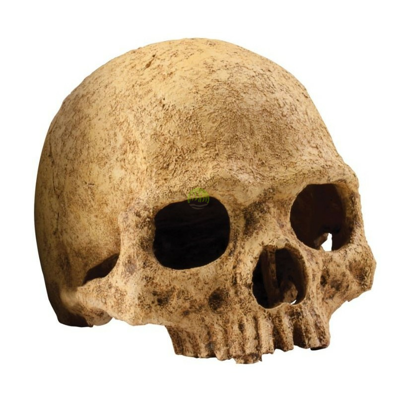 EXO TERRA ludzka czaszka