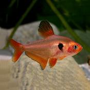 Fantom czerwony (Barwieniec czerwony) - Hyphessobrycon sweglesi