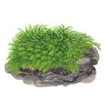 Fissidens fontanus (Phoenix moss) - TROPICA (porcja)