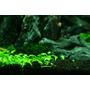 Glossostigma elatinoides (in-vitro) puszka 5cm (3)