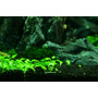 Glossostigma elatinoides (wanienka 15x10cm)