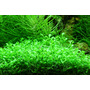 Glossostigma elatinoides - RA koszyk XXL