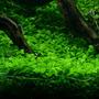 Glossostigma elatinoides - RATAJ (koszyk)