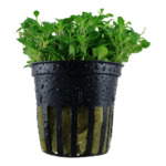 Glossostigma elatinoides - TROPICA (koszyk)
