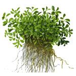 Glossostigma elatinoides TROPICA (koszyk)