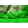 Gratiola viscidula (in-vitro) puszka 5cm
