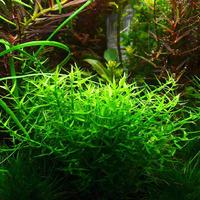 Gratiola viscidula - in-vitro Aqua-Art