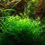 Gratiola viscidula - RA koszyk duży XXL
