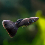 Gupik czarny FULL BLACK - Poecilia reticulata (2 szt - para)