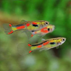 Gupik endlera - Poecilia wingei (1 szt)