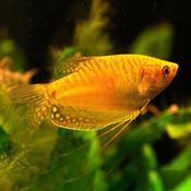 Gurami złote - Trichogaster trichopterus Gold (1 szt) - odbiór osobisty