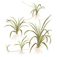 Helanthium tenellum Green TROPICA (in-vitro) puszka 7cm TROPICA