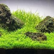 Hemianthus callitrichoides Cuba - in-vitro Aqua-Art