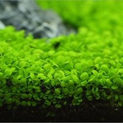 Hemianthus callitrichoides Cuba - PLANTACJA (koszyk)