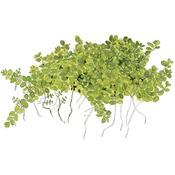 Hemianthus callitrichoides Cuba - TROPICA (koszyk)