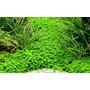 Hemianthus callitrichoides Cuba - TROPICA in-vitro 12GROW