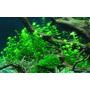 Hemianthus micranthemoides (wanienka 15x10cm)