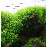 Hemianthus micranthemoides - RA koszyk XXL