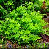 Hemianthus micranthemoides - RATAJ (koszyk)