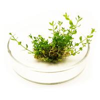 Hemianthus micranthemoides - sadzonka