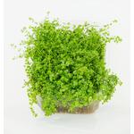 Hemianthus micranthemoides TROPICA (koszyk)