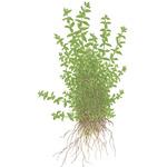 Hemianthus micranthemoides - TROPICA in-vitro 12GROW